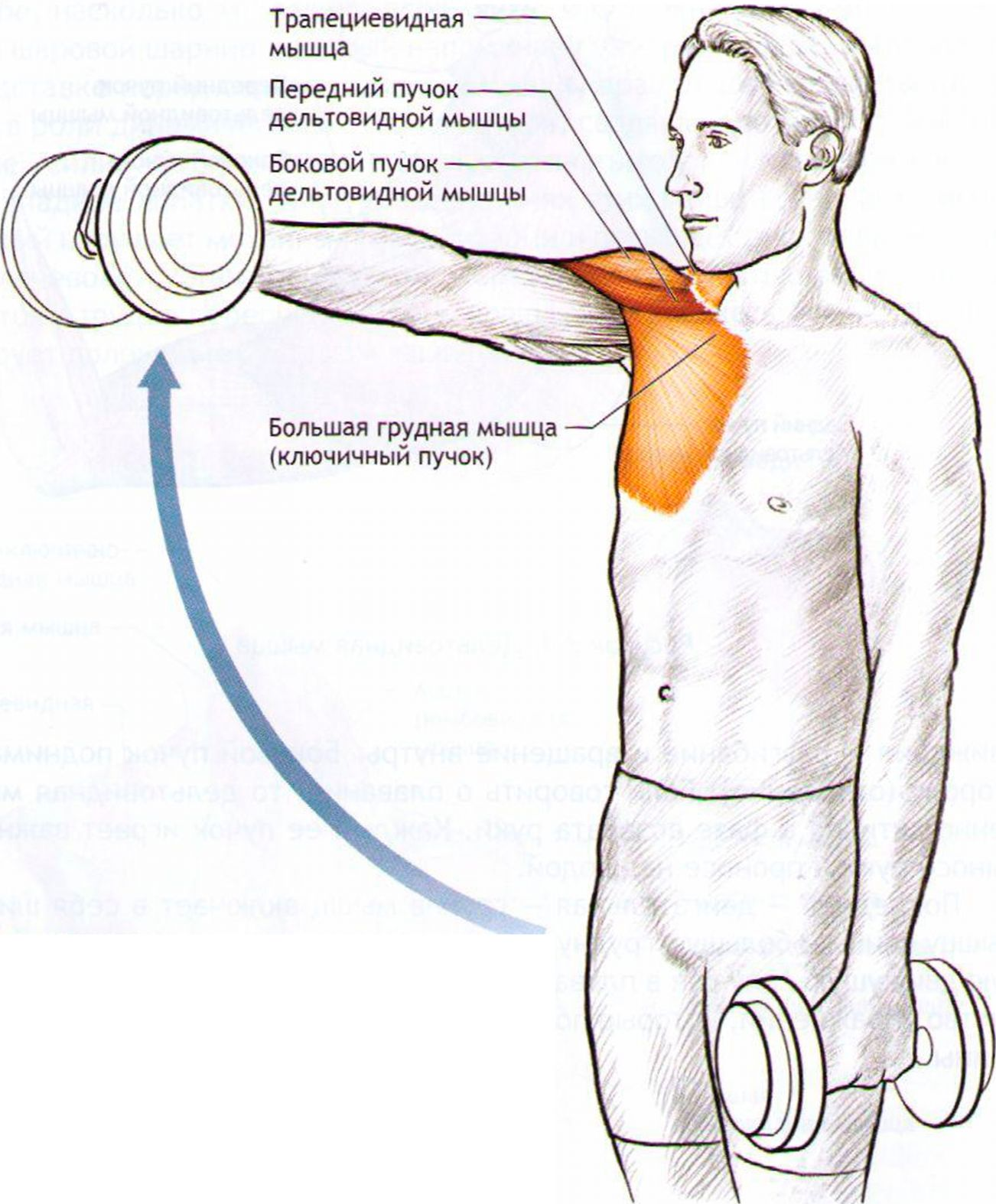 Какие мышцы работают при плавании
