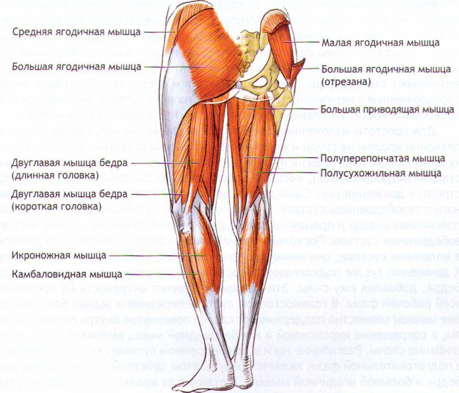 Мышца малоберцовая